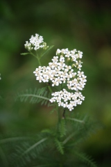 "Yarrow the ""Nosebleed"" Plant"